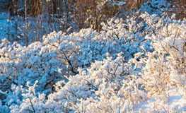 Tiny branches covered with snow Royalty Free Stock Photo
