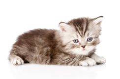 Tiny british kitten looking at camera. isolated on white. Backgrouund royalty free stock photos