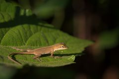 Tiny Brown Anole on Green Leaf in Morning Sun stock photo