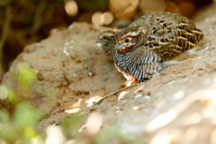 Tiny Brown Bird. Birds are a group of endothermic vertebrates, characterised by feathers, toothless beaked jaws, the laying of hard-shelled eggs, a high Royalty Free Stock Photos