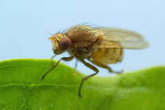 Tiny Brown Fly Stock Photo