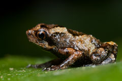 A tiny brown frog. Macro shot of  A tiny brown frog Stock Photo