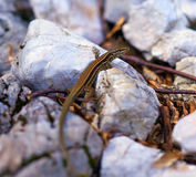 Tiny brown lizard Royalty Free Stock Image