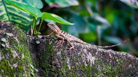 A tiny lizard hunting in the garden for some insects. A tiny brown lizard hunting in the garden for some insects stock photography