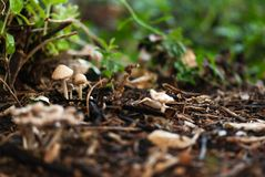 Tiny Brown Mushrooms royalty free stock images