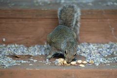 Tiny brown squirrel stealing nuts from the stairs stock photography