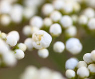Tiny buds of rowan white flowers. Close up Royalty Free Stock Photos