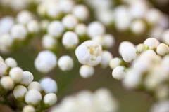 Tiny buds of rowan white flowers. Close up Stock Image