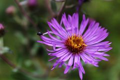 Tiny Bug on Big Aster. Little bitty bug on the tip of a wild  purple aster petal Royalty Free Stock Photo