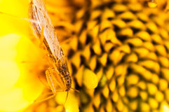Tiny bug on a yellow flower Stock Image