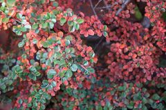 Tiny bush colorful autumn leaves Royalty Free Stock Image