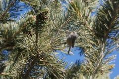A tiny bushtit bird in a pine tree. Stock Image