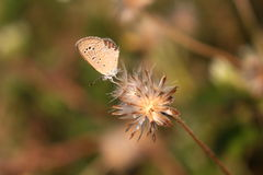 Tiny butterfly and dried grass flower Stock Images