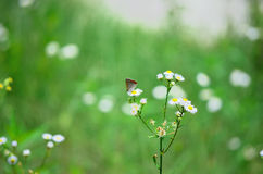 Tiny butterfly on flower, Japan Royalty Free Stock Image
