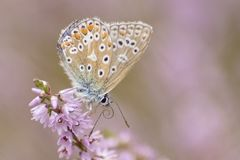 A butterfly on a purple flower royalty free stock image