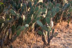 Cactus in desert royalty free stock image