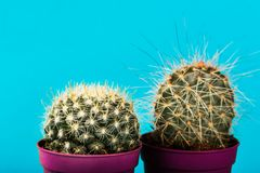 Tiny Cactus in the Pot on Bright Neon Background. Saturated Imag Stock Photos