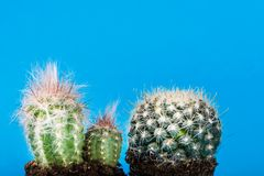 Tiny Cactus in the Pot on Bright Neon Background. Saturated Imag Royalty Free Stock Image