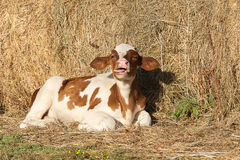 Tiny calf in the barn Stock Images