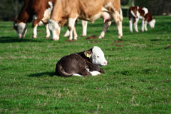 Tiny calf resting in field Royalty Free Stock Photo
