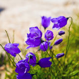 Tiny 'campanula get mee' (or bellflowers) soft floral background. Royalty Free Stock Images