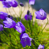 Tiny campanula get mee Royalty Free Stock Images