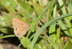 Tiny Carolina Satyr butterfly. Resting on a blade of grass in a sunny spot in forest Royalty Free Stock Images