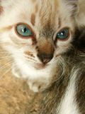 Begging siamese kitty Stock Photo