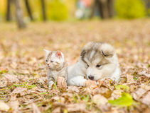 Tiny cat and dog lying together in autumn park Stock Images