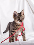 Tiny cat with red tape Royalty Free Stock Photography