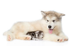 Tiny cat sleep with alaskan malamute puppy. isolated on white ba Royalty Free Stock Images