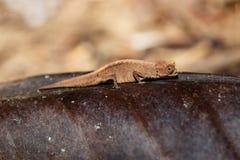 Tiny chameleon Brookesia minima, micra, Madagascar stock photo