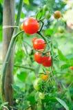 Tiny - Cherry tomatoes. Cherry tomatoes growing on the vine Stock Photo