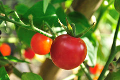Tiny, Cherry-tomatoes. Cherry-tomatoes growing on the vine Royalty Free Stock Photo