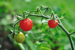 Tiny, Cherry-tomatoes royalty free stock photography
