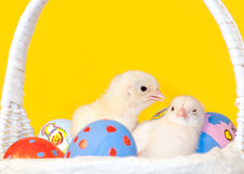 Tiny chick waking up her sister Royalty Free Stock Photo