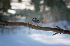 Tiny Chickadee Perched on Branch. A small chickadee bird perches on a branch in Bird`s Hill Provincial Park, Manitoba, Canada stock photo
