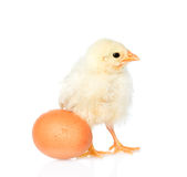 Tiny chicken with egg. isolated on white background Stock Image