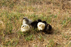 Tiny chickens grouped together. A group of baby chicks huddled up in a field Royalty Free Stock Images