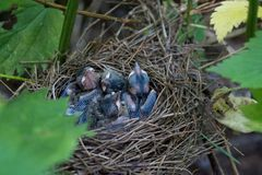 The nestlings. The tiny Chicks in the nest, hidden in the nettles Stock Images