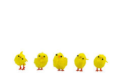 Tiny Chicks. With white background at Easter Royalty Free Stock Photo
