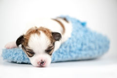 Tiny  Chihuahua baby sleeping in blue slipper close-up Royalty Free Stock Photo