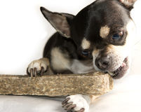 Tiny Chihuahua Big Bone  on White. Tiny Chihuahua dog with big bone  on white Stock Image
