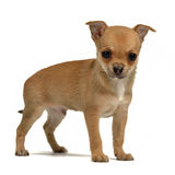 Tiny chihuahua puppy Royalty Free Stock Image