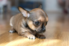 Tiny chihuahua puppy on  floor close-up Royalty Free Stock Photo