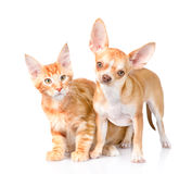Tiny chihuahua puppy and maine coon cat looking at camera together Royalty Free Stock Photos