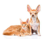 Tiny chihuahua puppy and maine coon cat together. isolated on wh Stock Photo