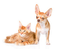 Tiny chihuahua puppy and maine coon cat together. isolated on wh. Ite background Stock Images