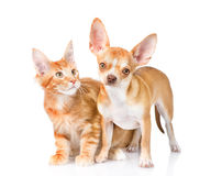 Tiny chihuahua puppy and maine coon cat together. isolated on white Royalty Free Stock Photos