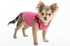 Tiny Chihuahua puppy wearing sport t-shirt Royalty Free Stock Photography